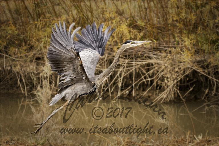 Heron taking off, by Carol Quinn. ID 1CQ3203 rev 1b