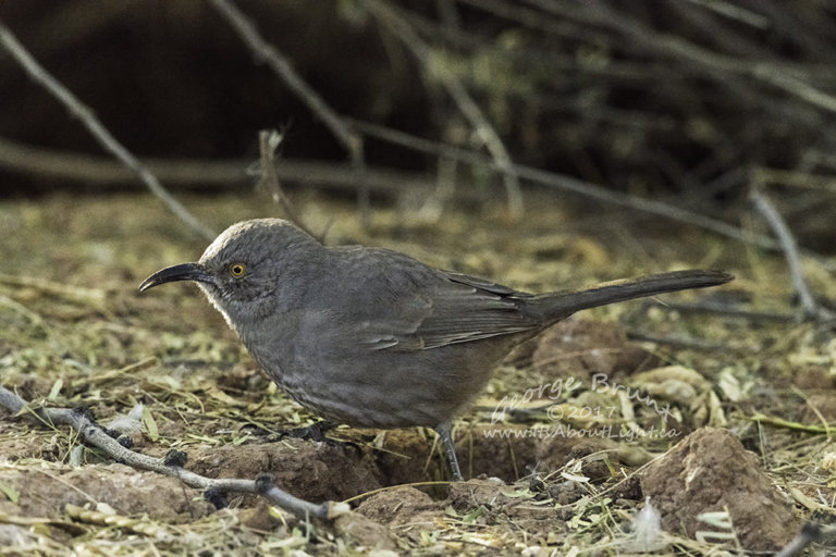 Unknown bird, Riparian Preserve at Water Ranch in Gilbert AZ. By George Brunt. ID 1GB5720 rev 1b