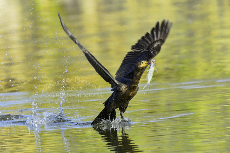 Comorant with fish taking off, Riparian Preserve at Water Ranch in Gilbert AZ. By George Brunt. ID 1GB5725 rev 1b