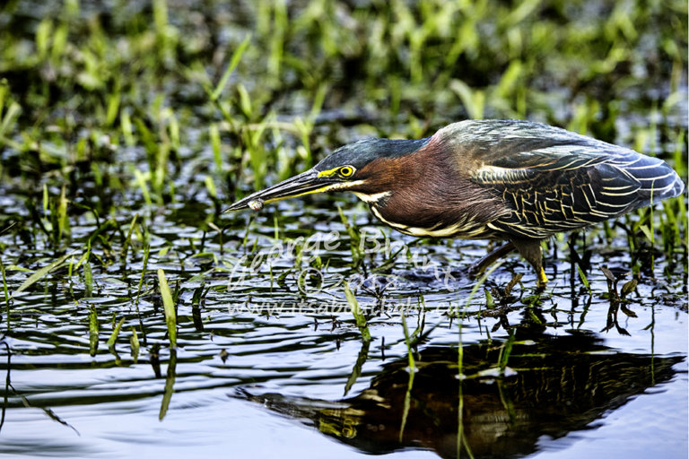 Green Heron with fish, Riparian Preserve at Water Ranch in Gilbert AZ. By George Brunt. ID 1GB8851 rev 1d