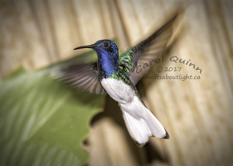 White-necked Jacobin Hummingbird, by Carol Quinn. ID 2CQ0420 rev 1c