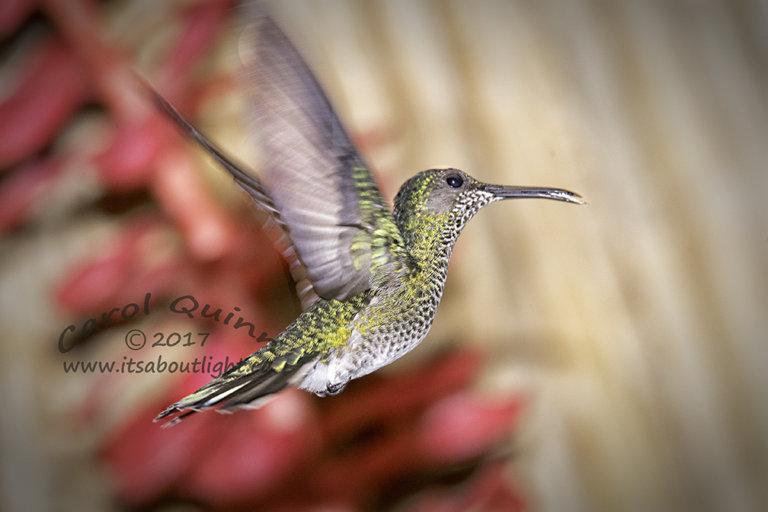 Female Black-Chinned Hummingbird, by Carol Quinn. ID 2CQ0443 rev 1b