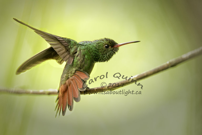 Rufous Hummingbird, by Carol Quinn. ID 2CQ8639 rev 1b