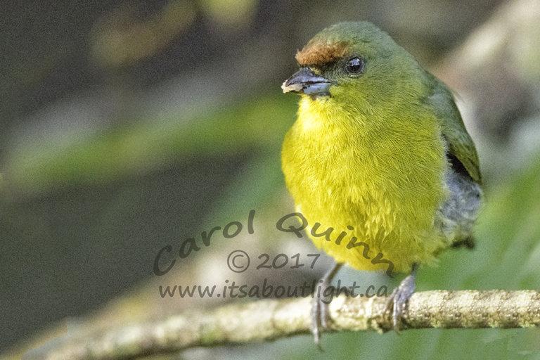 Female Yellow-throated Euphonia, by Carol Quinn. ID 2CQ9778 rev 1c