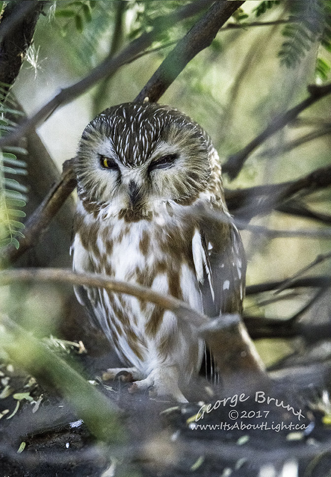 Northern Saw Whet Owl, Riparian Preserve at Water Ranch in Gilbert AZ. By George Brunt. ID 2GB0349 rev 1a