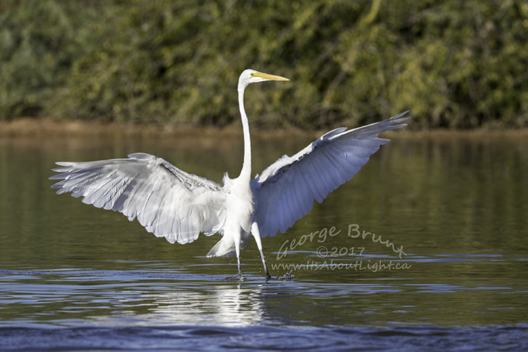 Great Egret with wings up, Riparian Preserve at Water Ranch in Gilbert AZ. By George Brunt. ID 2GB0528 rev 1a