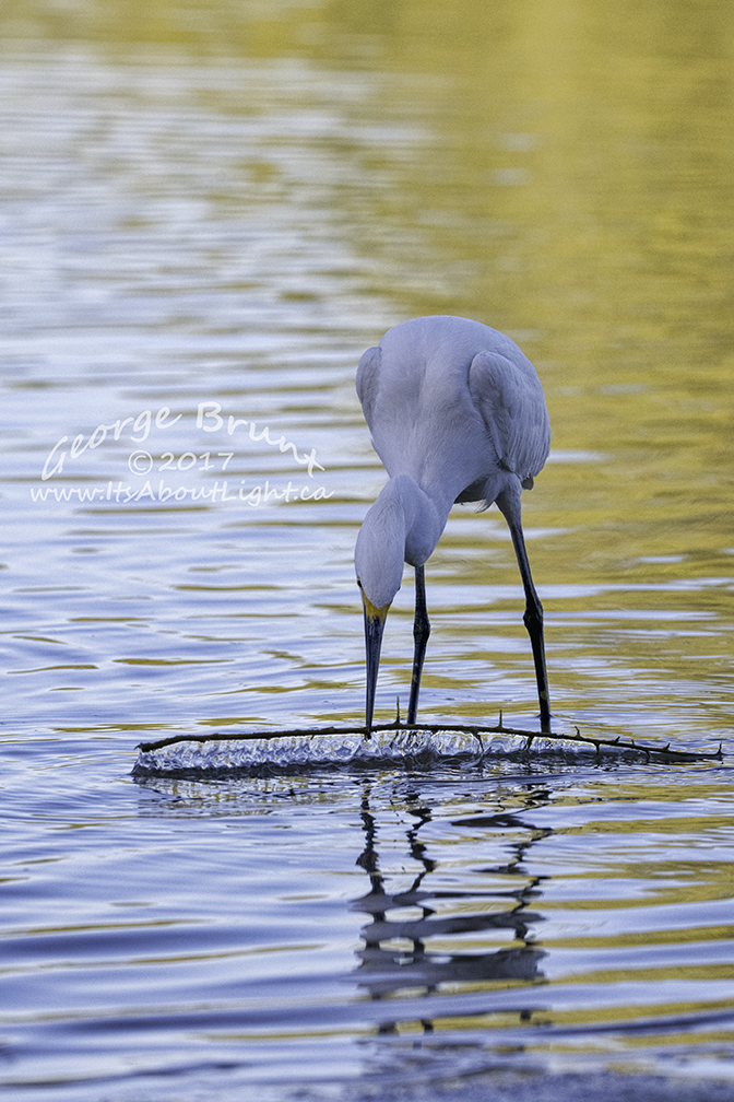 Snowy Egret with stick, Riparian Preserve at Water Ranch in Gilbert AZ. By George Brunt. ID 2GB0739 rev 1a