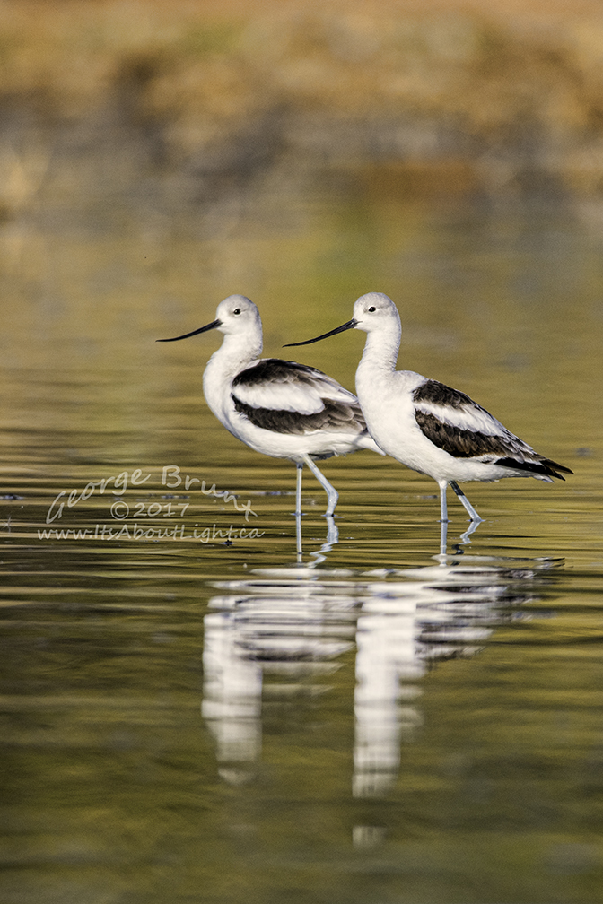American Avocet wading, by George Brunt. ID 2GB9041 rev 1b
