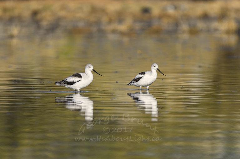 American Avocet wading 2, by George Brunt. ID 2GB9053 rev 1