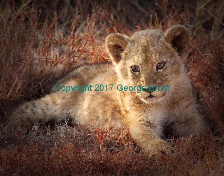 Lion cub 2, by George Brunt. ID 7CQ_1058