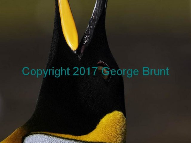 King Penguin Bugling, by George Brunt. ID 7GB9676