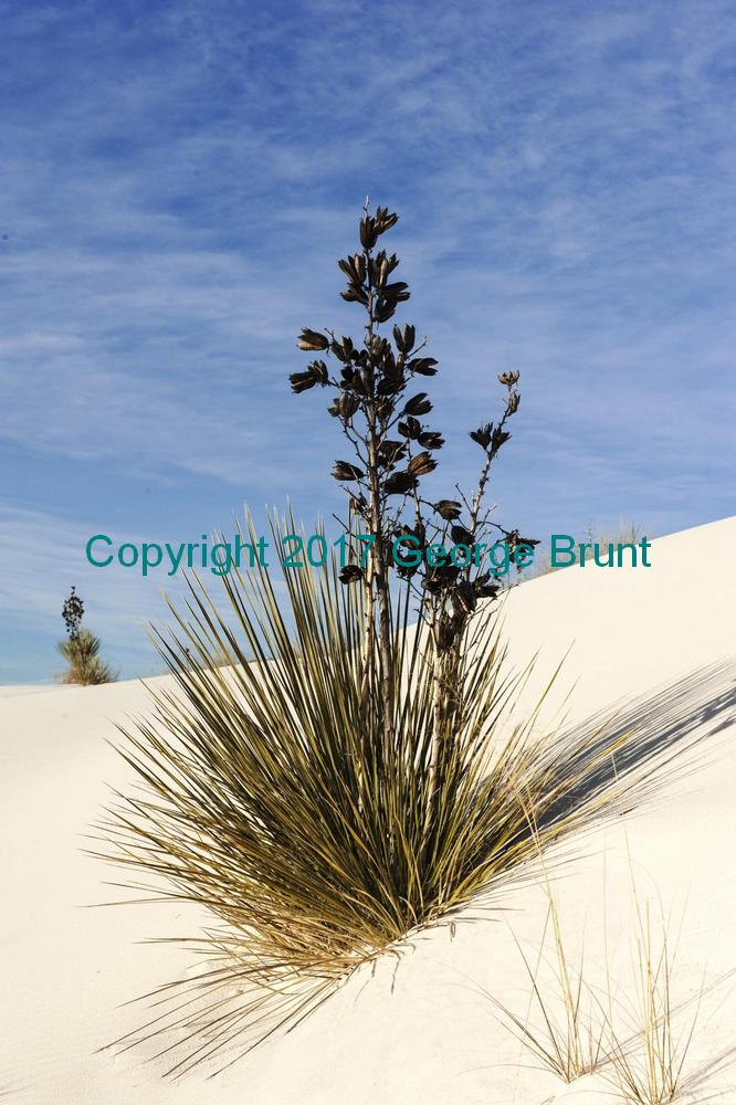 Yucca Plant in the sand, by George Brunt. ID CQ76019