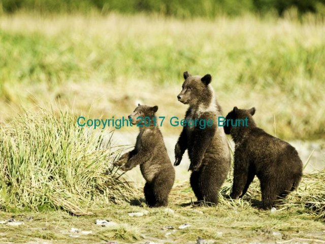 Bear cubs, by George Brunt. ID _GEB4909 rev 1