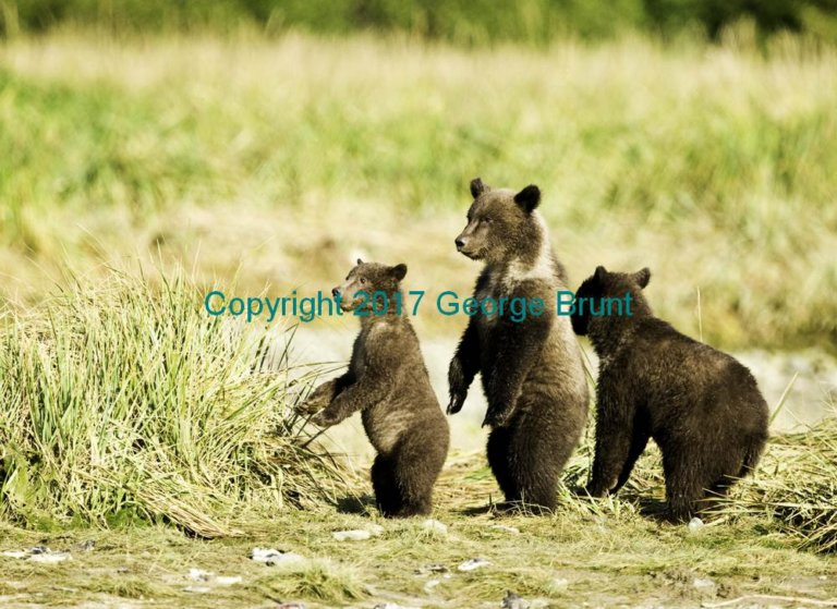 Bear cubs, by George Brunt. ID _GEB4909 rev 1