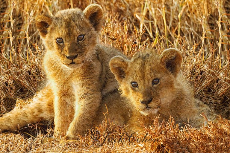 Lion cubs by Jack Cohen. ID _MG_4211