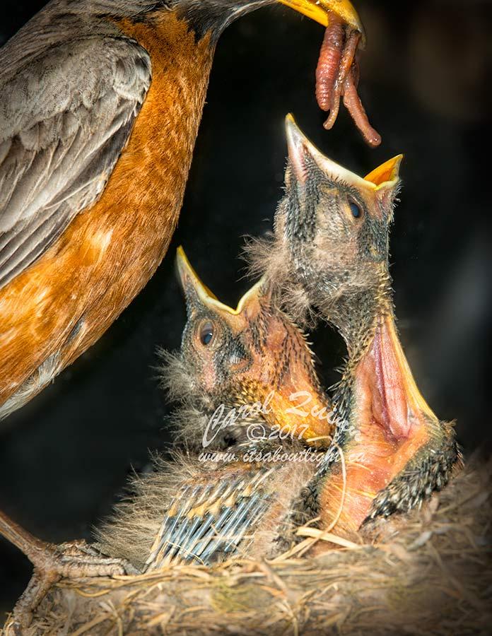 Hungry Robin chicks, by Carol Quinn. ID 8CQ0341