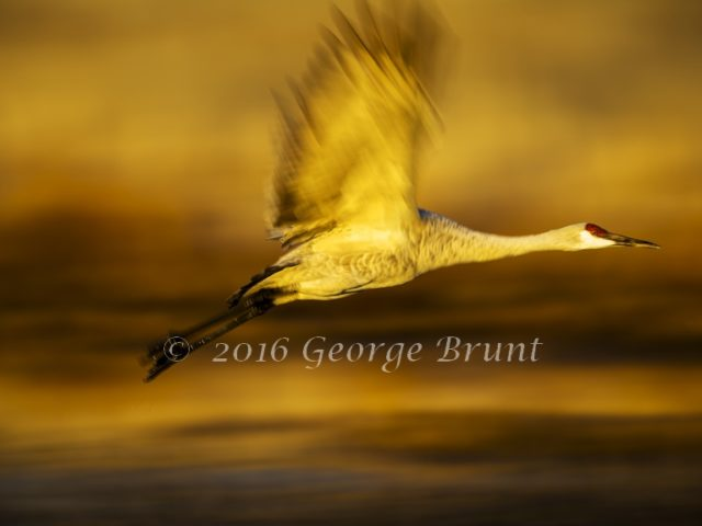 Sandhill Crane in Flight, taken by George Brunt. ID _3GB0572