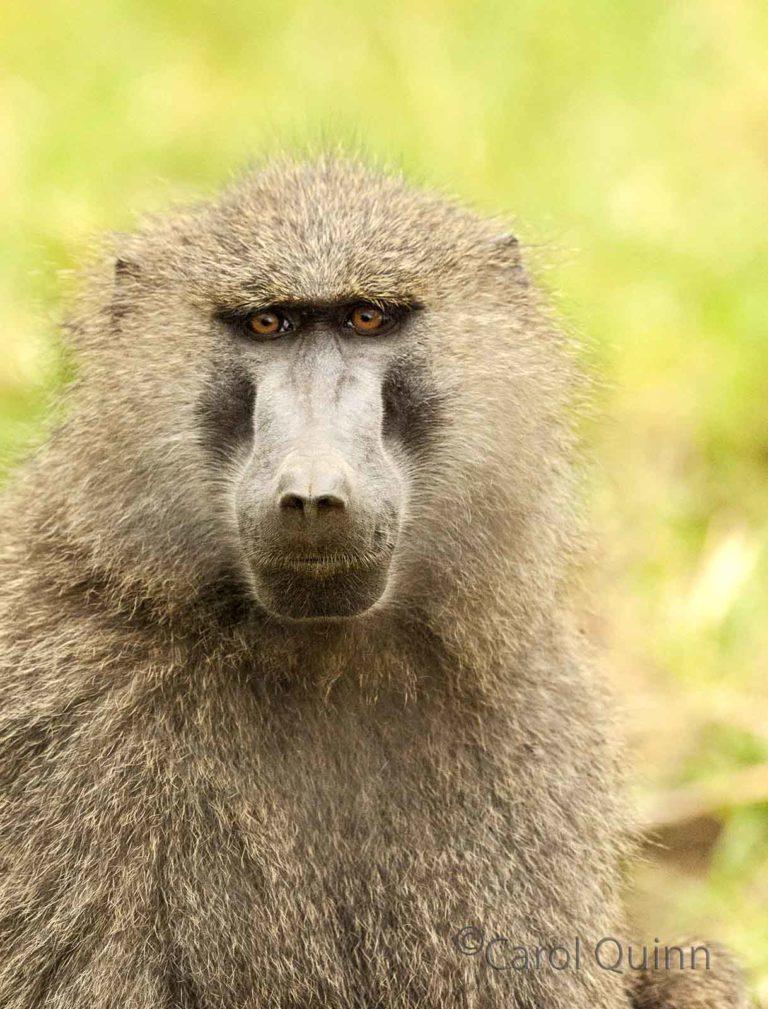 Baboon portrait, by Carol Quinn. ID 7CQ_2470