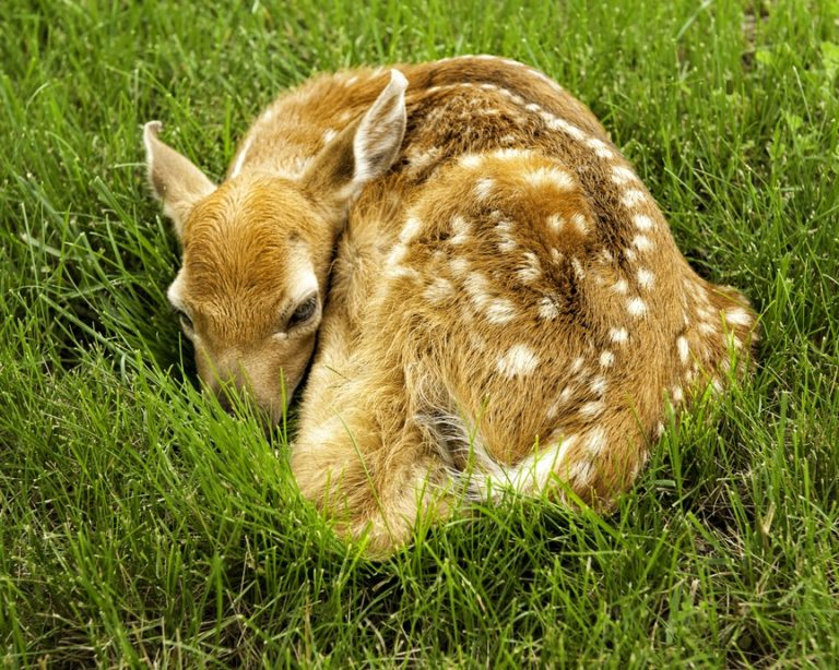 Newly born fawn, by Carol Quinn. ID 7CQ_6945 rev 1